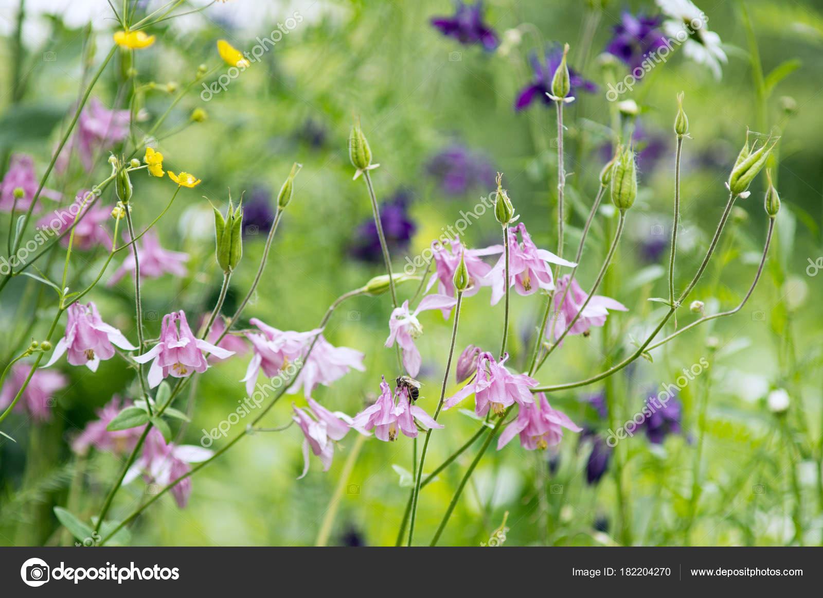 Photo Pink Aquilegia Flowers Garden Common Names Aquilegia Granny