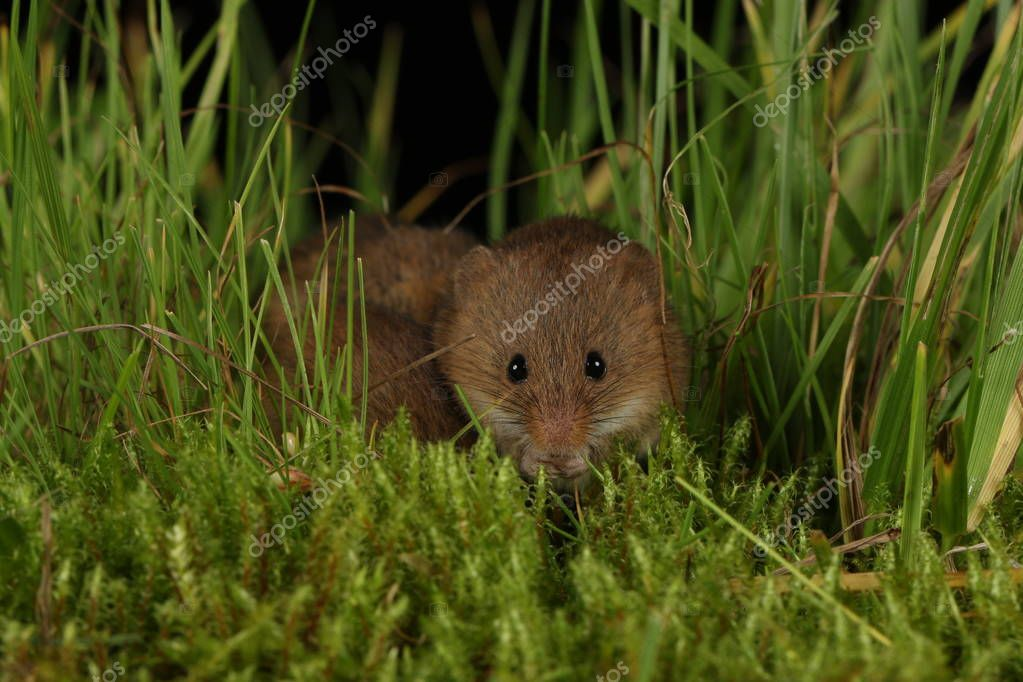 harvest mouse in natural environment