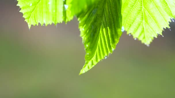 zelený list s kapkami rosy