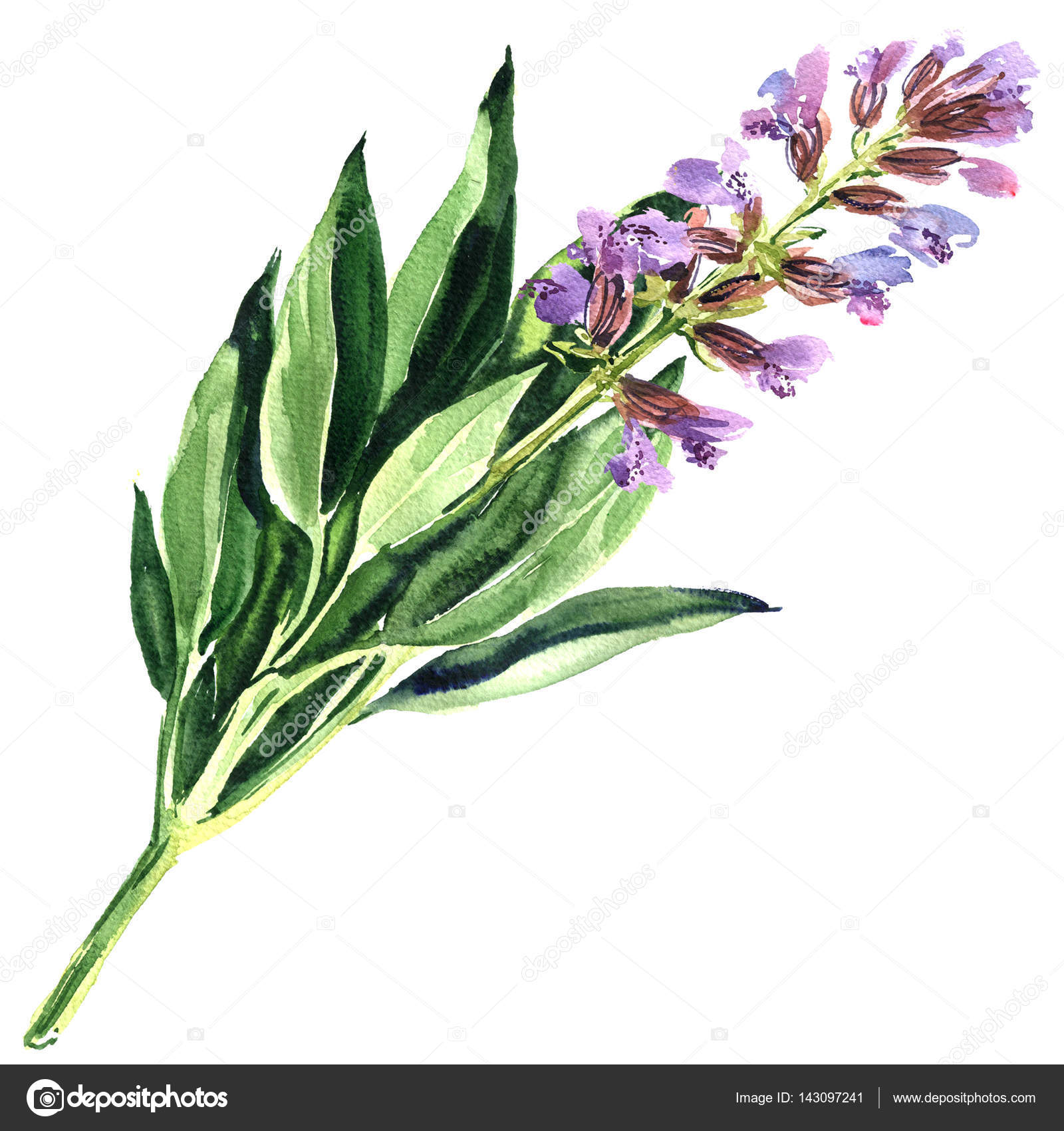 Spring Purple Sage Flower Or Blue Salvia Isolated Watercolor