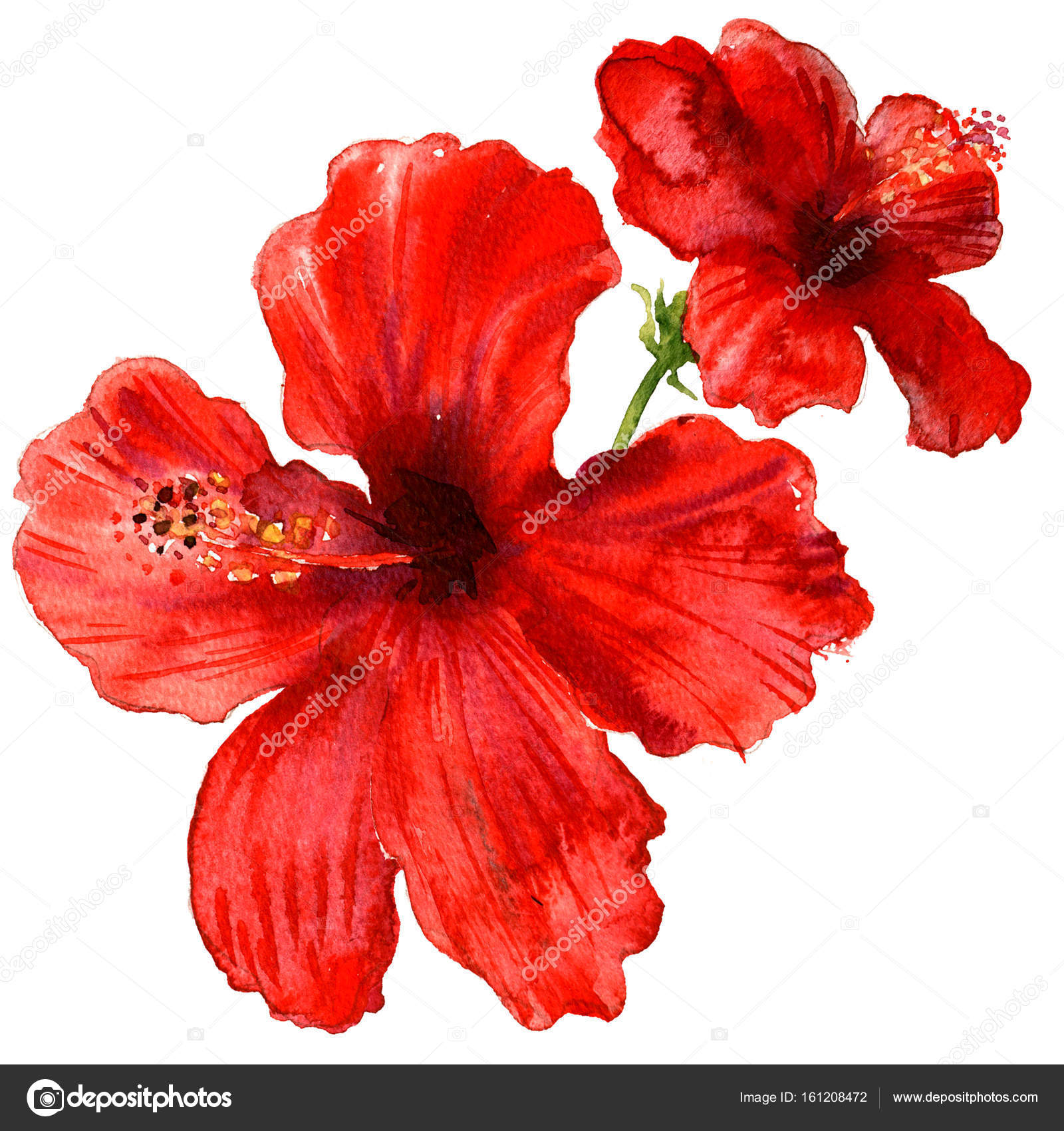 Red hibiscus flower tropical plants isolated watercolor red hibiscus flower tropical plants isolated watercolor illustration on white stock photo izmirmasajfo
