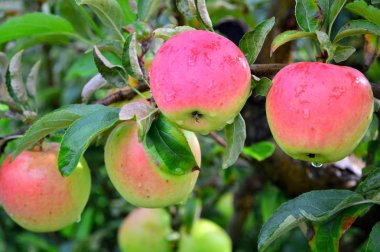 Pink Lady apples with raindrop