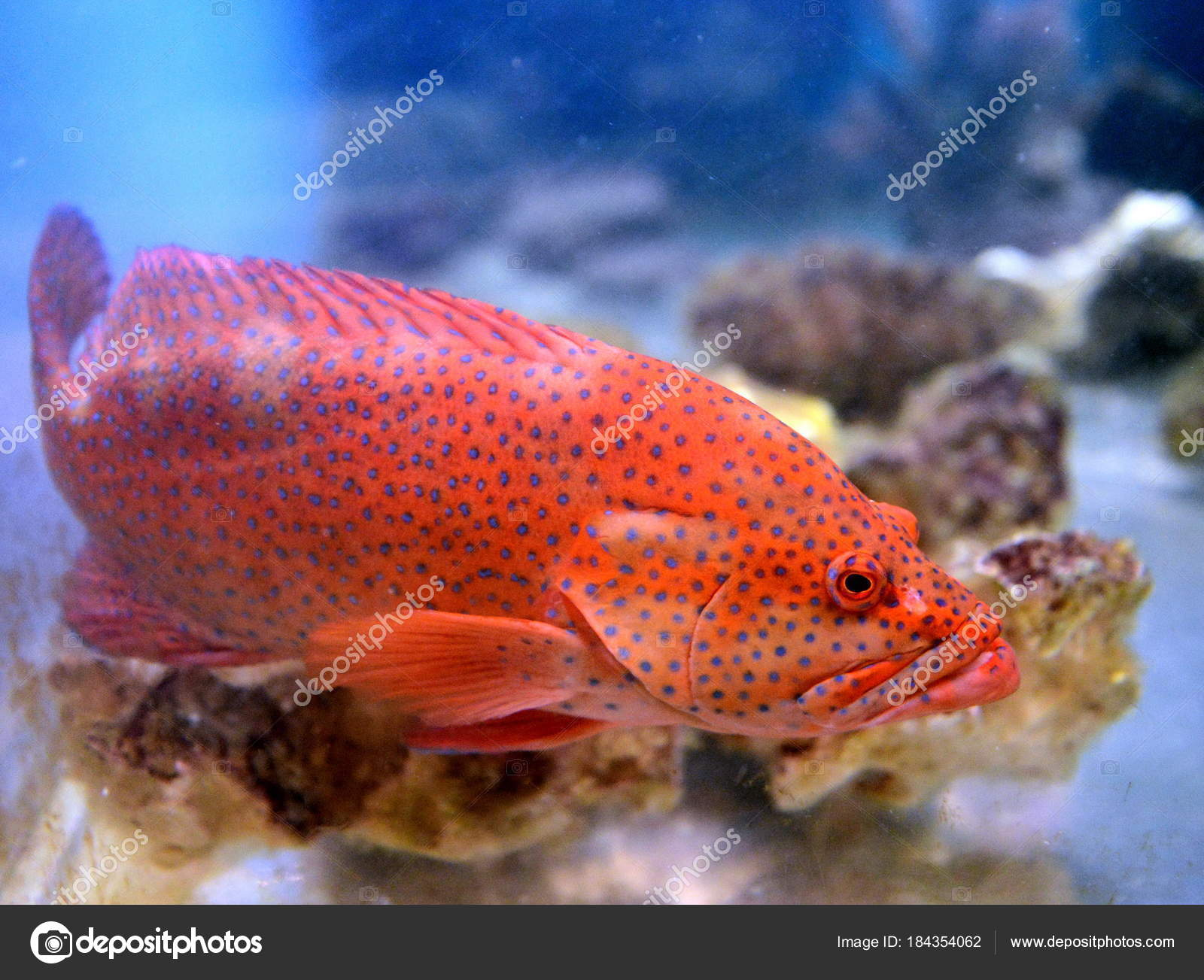 Red grouper in the aquarium. — Stock Photo © Free2014 #184354062