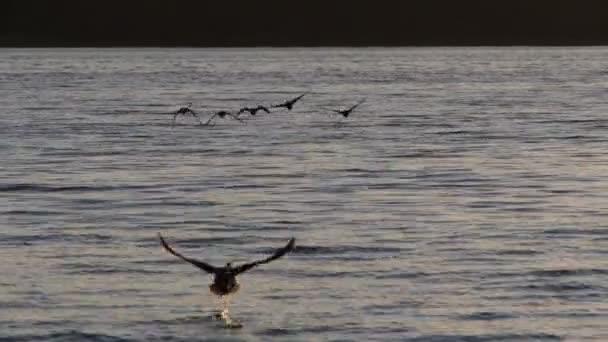 Kachny na jezeře v Polsku