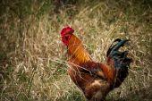 domácí ruster v trávě na venkovské farmě