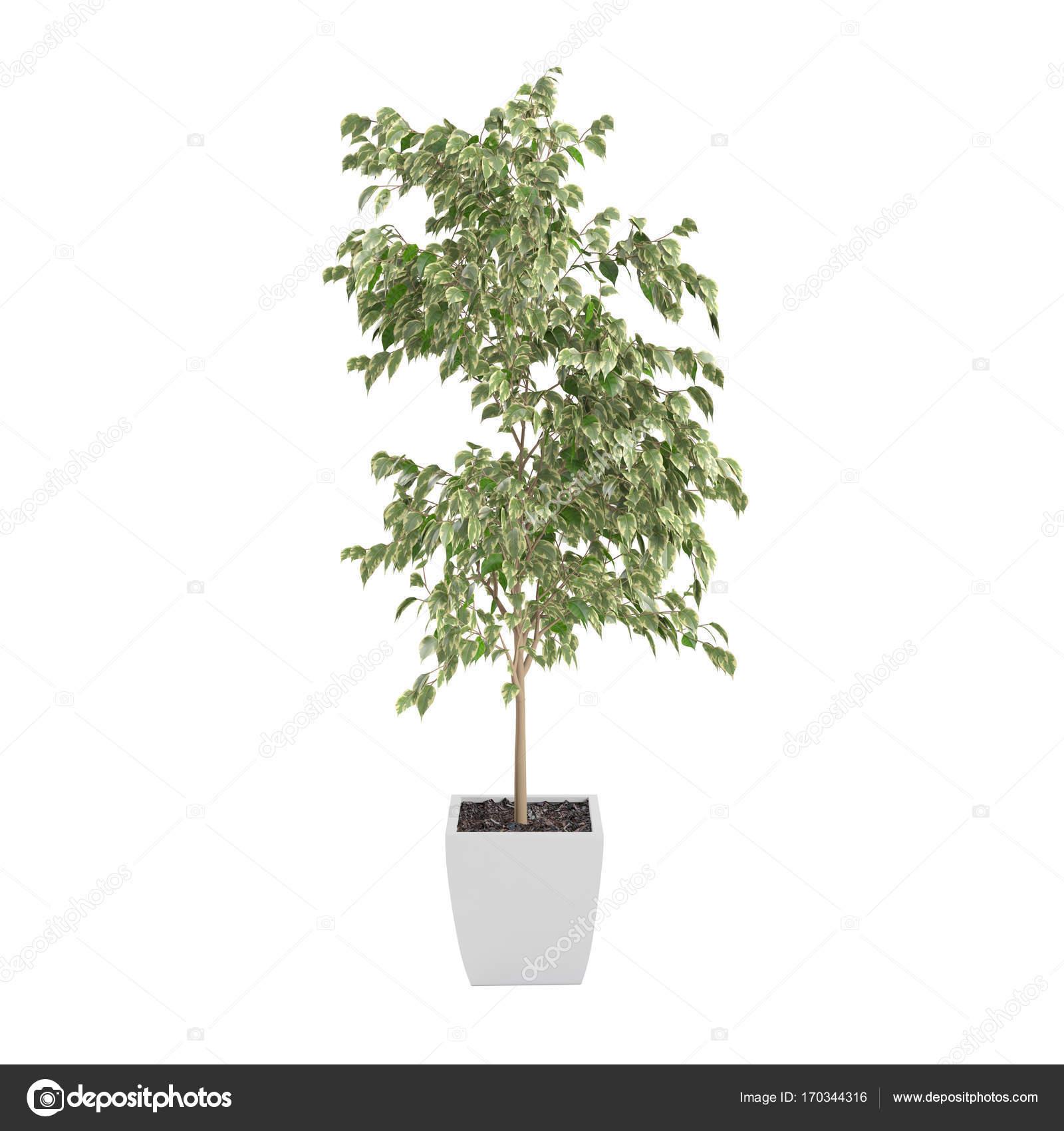 arbre décoratif de ficus benjamina — photographie vahekatrjyan