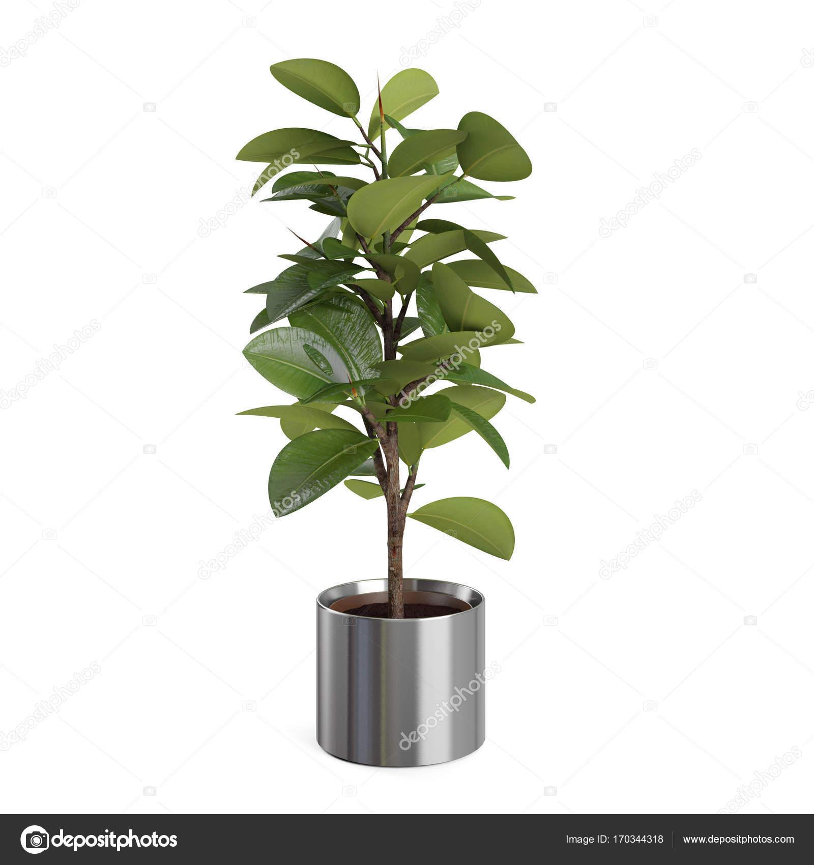 arbre décoratif de ficus elastica — photographie vahekatrjyan