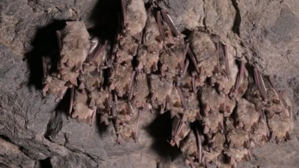 Speleologické průzkumy v hluboké jeskyni. Na stropě jeskyně spí skupina malých hnědých netopýrů. Divocí netopýři v přírodním prostředí 4k