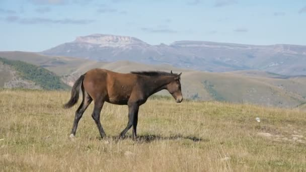 A brown small foals horse grazes in an alpine meadow surrounded. The farm. Horse breeding