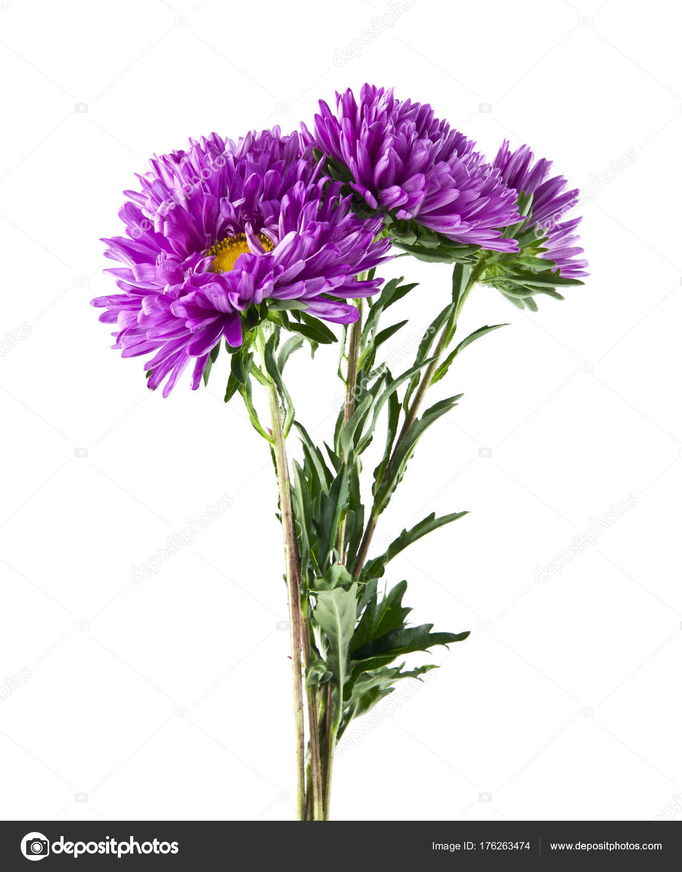 Aster Flowers Isolated On White Background Stock Photo Valzan