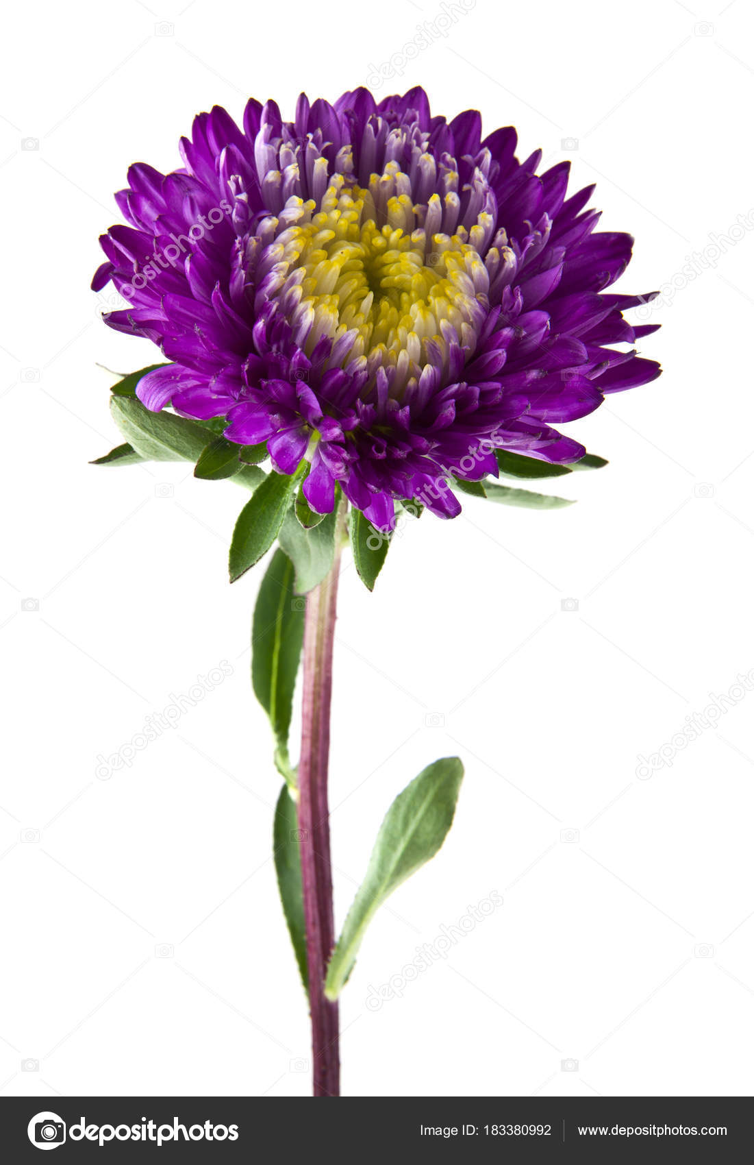 Aster Flowers Isolated On White Background Closeup Stock Photo