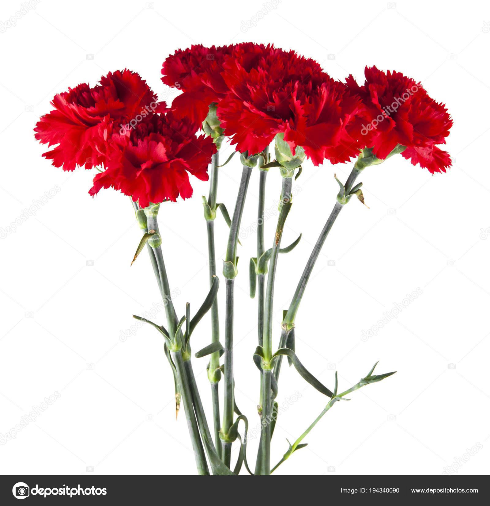 Fabelhaft rote nelke blume isoliert auf weißem hintergrund — Stockfoto &TF_74