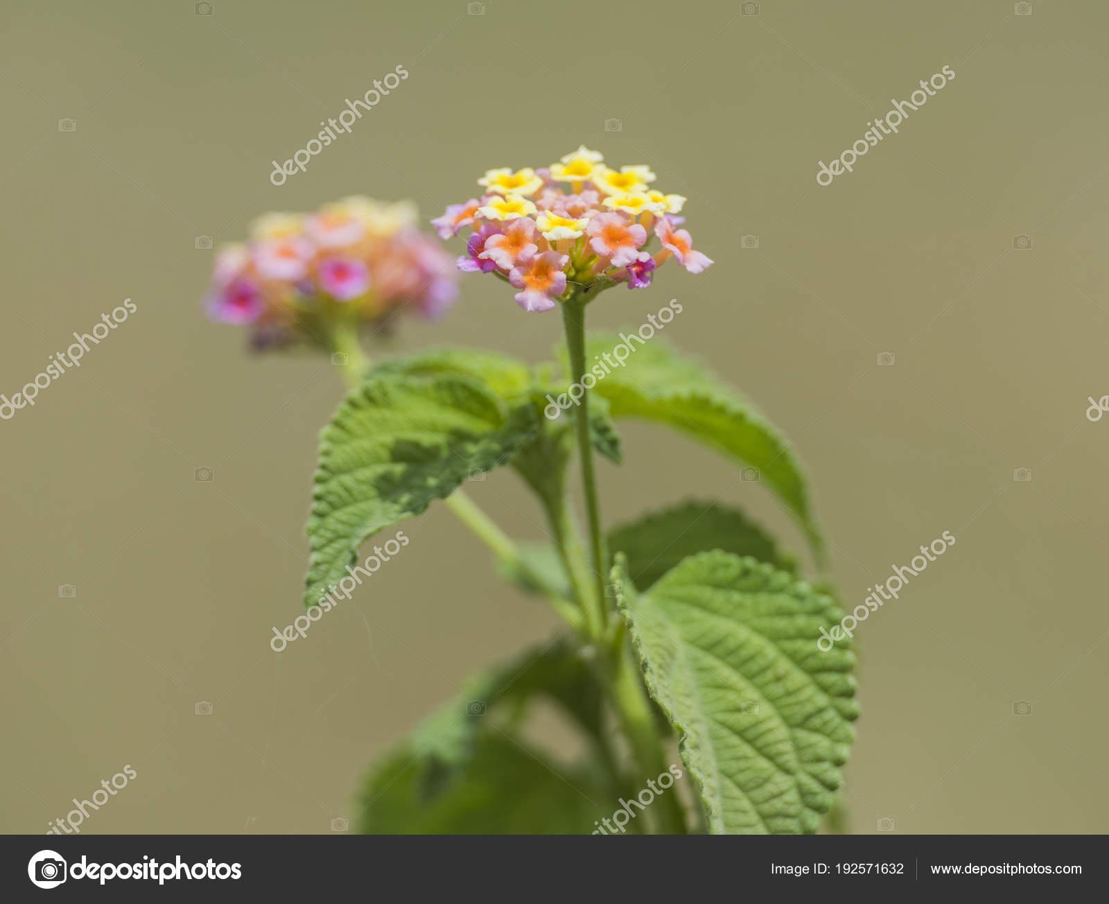 Closeup Of Rose Lantana Flower In Rural Garden Setting Stock Photo