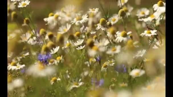 Zemědělská krajina s luční květy, pole s kvetoucích rostlin pampelišky, letní květy, kytice, kopretin zavřít nahoru, květinové pole s divoký heřmánek, Sommerblumen