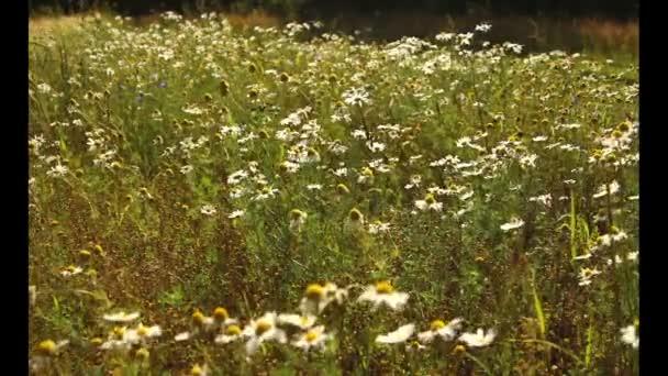 Mezőgazdasági táj rét virággal, mező, virágos növények pitypang, nyári vadvirágok, vadvirágok, fehér-margarétás közeli fel, virág mező, a vadon élő kamilla, Sommerblumen