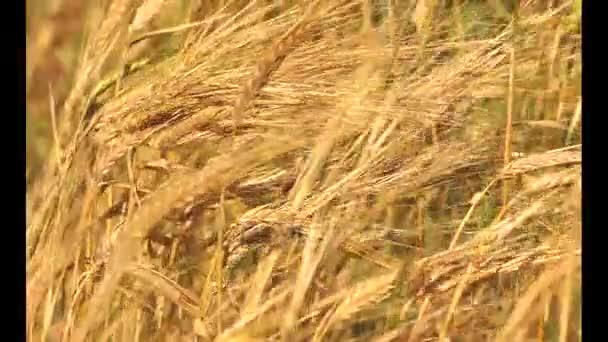 Arany érett Búzamező, a mezőgazdasági táj, a pékség háttér, művelni, termés, kenyér, betakarítási szezonban, sütés háttér, élelmiszer-háttér, mező rozs, búza háttér, érett sárga füle búza