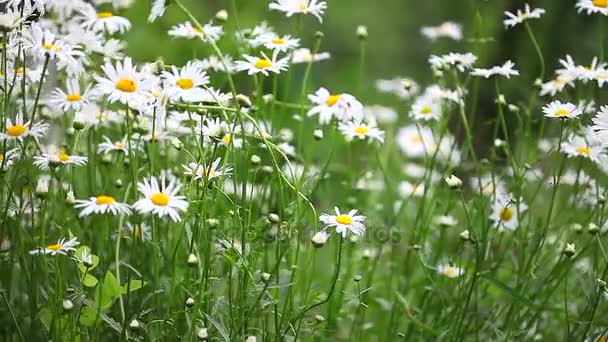 Agricultural Landscape with Meadow Flowers, Fields with Flowering Plants Dandelions, Summer Wildflowers, Wild Flowers, White Daisies Close Up, Flower Field with Wild Chamomile, Sommerblumen