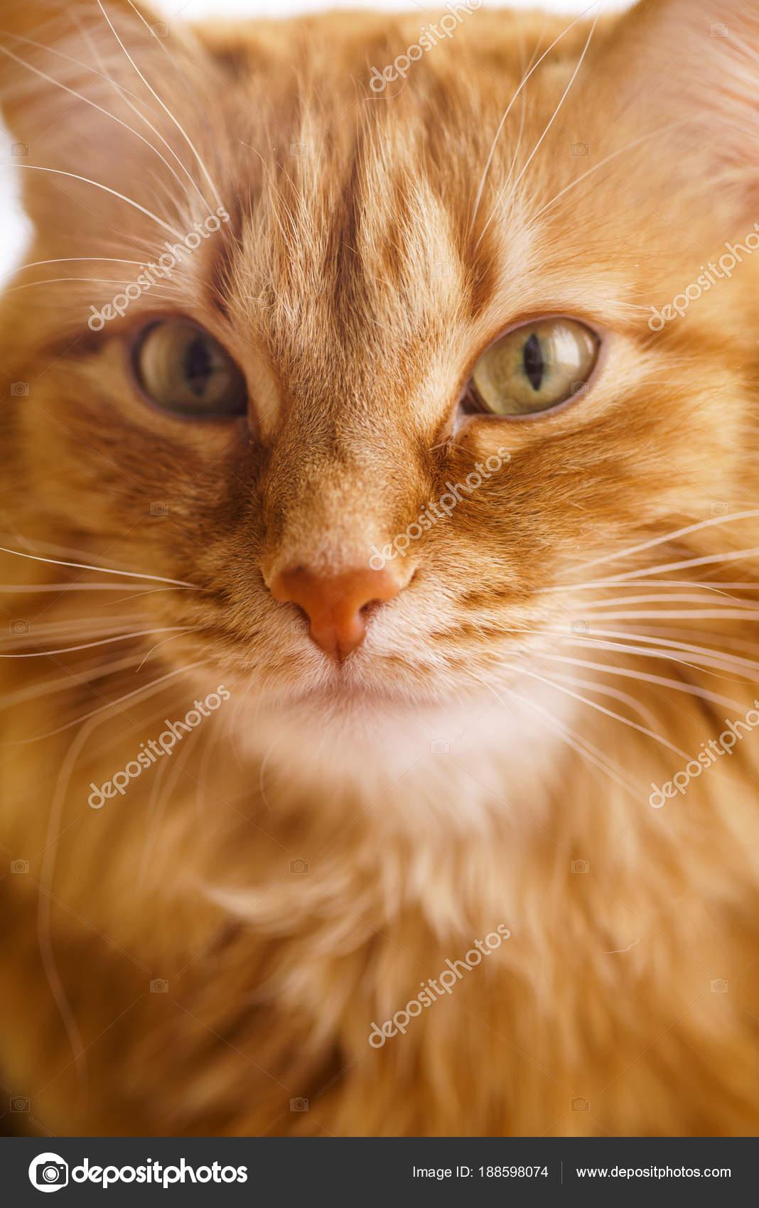 Braune Katze Roter Kater Ingwer Katze Stockfoto Supertrooper