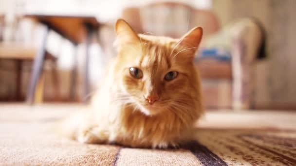 Brown Cat, Red Tabby Male Cat, Ginger Cat