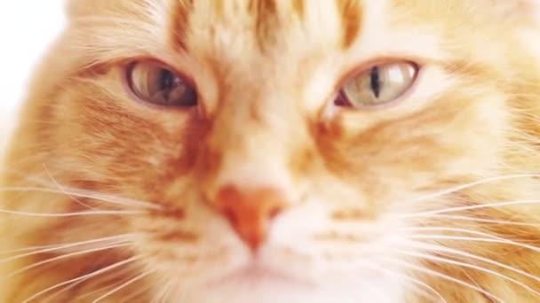 Hnědá kočka, červené mužské mourovatá kočka, zázvor kočka