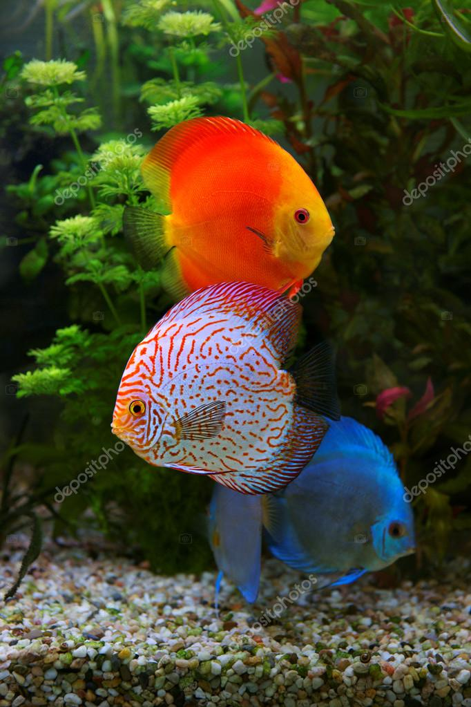 Discus symphysodon multi colorati ciclidi in acquario for Pesci acqua dolce on line