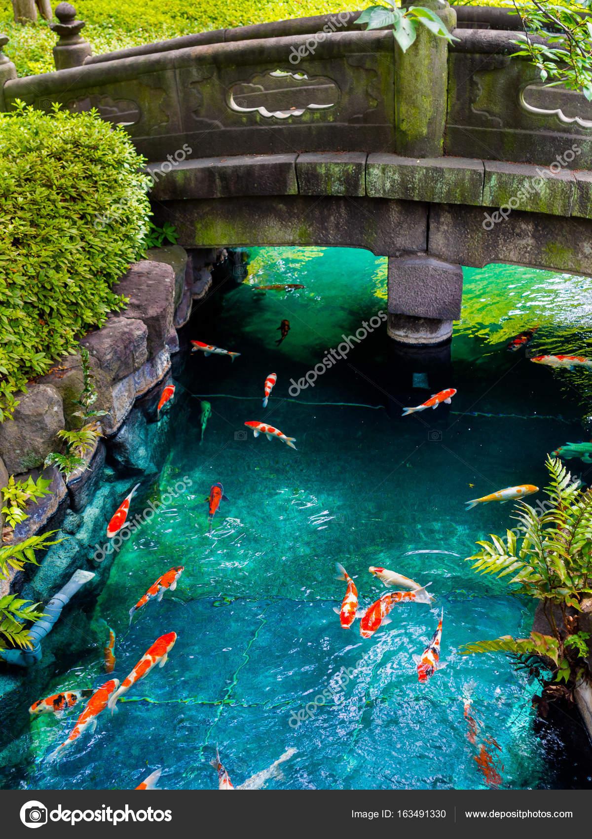 Peces koi hermosa nadando en pong en un r o peque o for Estanque koi pequeno