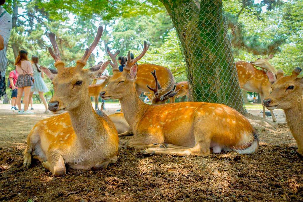 Close up of wild deers in Nara, this city is a major tourism destination in Japan - former capita city and currently UNESCO World Heritage Site