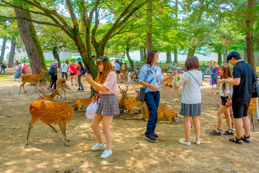 Nara, Japan - July 26, 2017: Unidentified people walking around of wild deers in Nara, Japan. Nara is a major tourism destination in Japan - former capita city and currently UNESCO World Heritage Site
