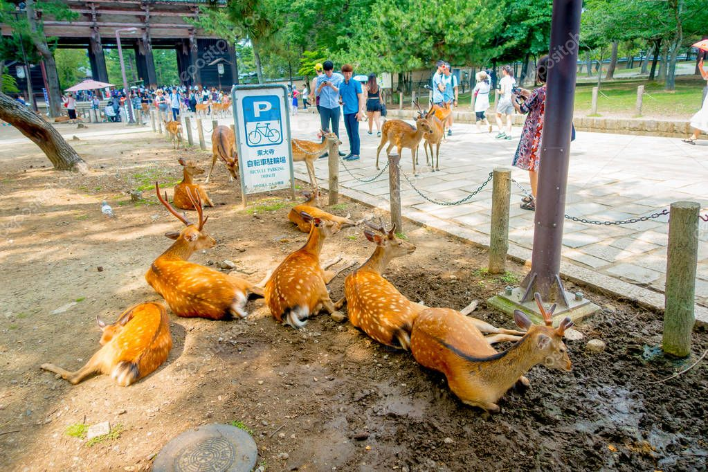Nara, Japan - July 26, 2017: Unidentified people walking around and some wild deers, resting in a wet ground in Nara park in Japan. Nara is a major tourism destination in Japan - former capita city