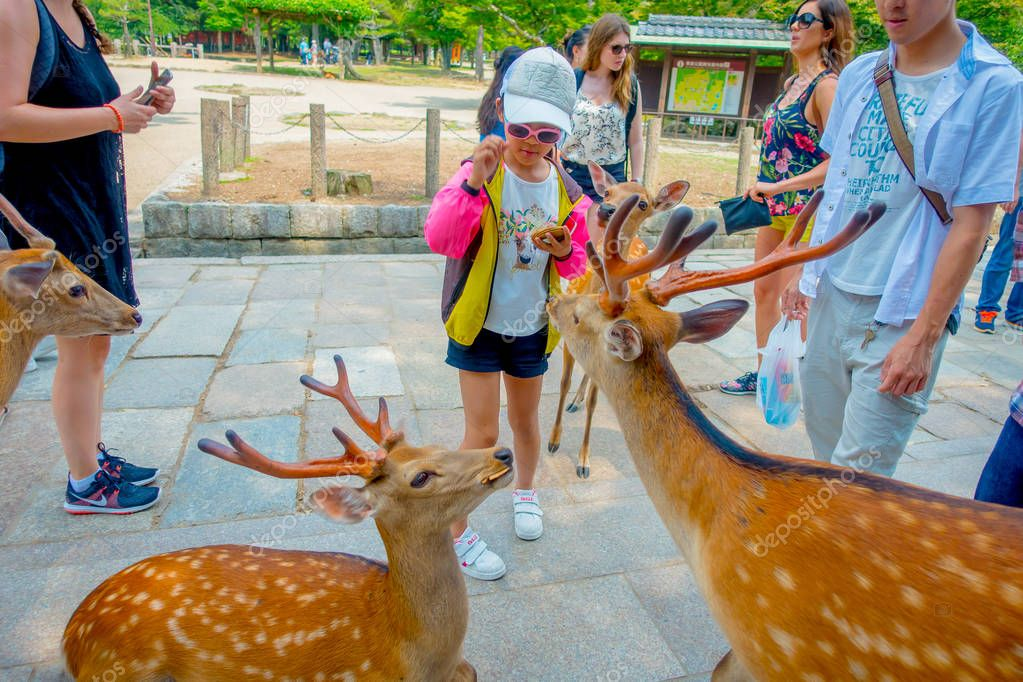 Nara, Japan - July 26, 2017: Unidentified people feeding a wild deer in Nara, Japan. Nara is a major tourism destination in Japan - former capita city and currently UNESCO World Heritage Site