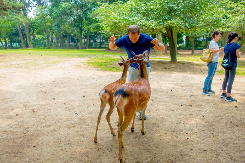 Nara, Japan - July 26, 2017: Unidentified man in from of two wild deers in Nara, Japan. Nara is a major tourism destination in Japan - former capita city and currently UNESCO World Heritage Site