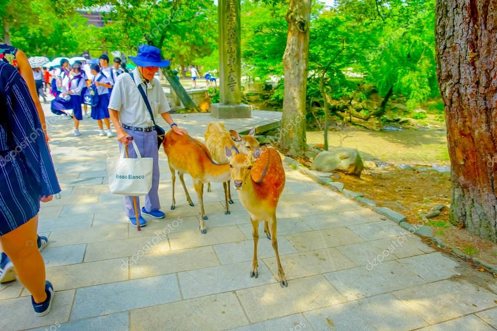 Nara, Japan - July 26, 2017: Unidentified old man touching a wild deer in Nara Park, Japan. Nara is a major tourism destination in Japan - former capita city and currently UNESCO World Heritage Site