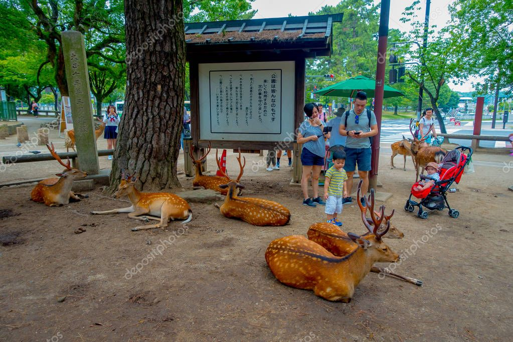 Nara, Japan - July 26, 2017: Unidentified people enjoying and taking pictures of wild deers in Nara, Japan. Nara is a major tourism destination in Japan - former capita city and currently UNESCO World