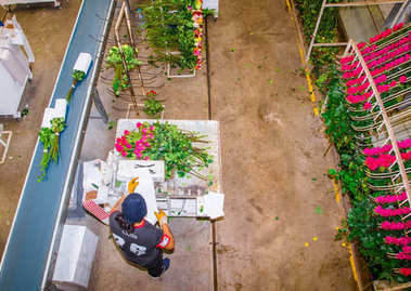 CAYAMBE, ECUADOR - NOVEMBER, 30, 2017: Above view of unidentified man working inside of a flower factory on beautiful roses bouquets, empaqued and classifying the quality, with some roses hanging from