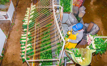 CAYAMBE, ECUADOR - NOVEMBER, 30, 2017: Above view of unidentified woman working inside of a flower factory, classifying the quality, with some roses hanging from a metallic estructure, inside of a