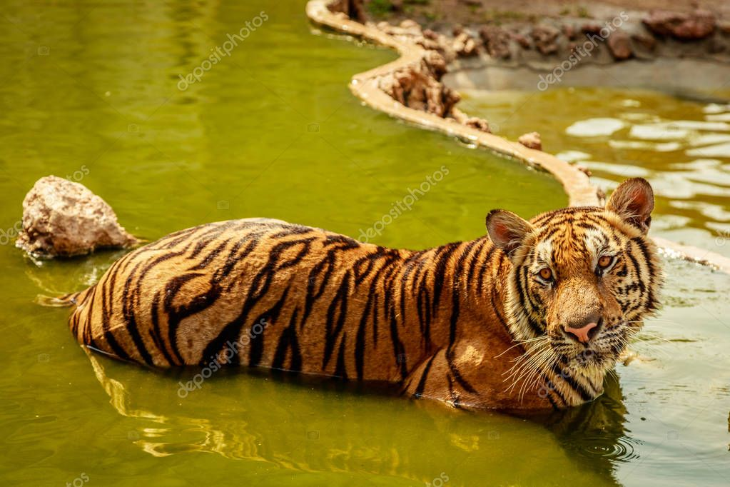 Bathing Indochinese tiger, Thailand