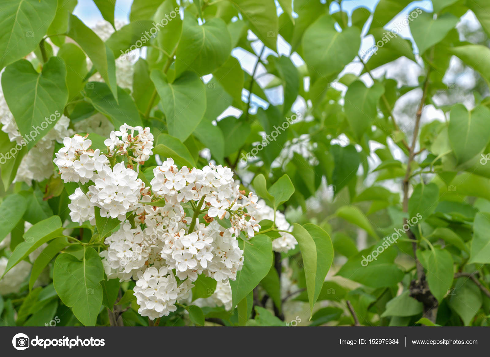 Background Branch Of A Tree With White Flowers Against A
