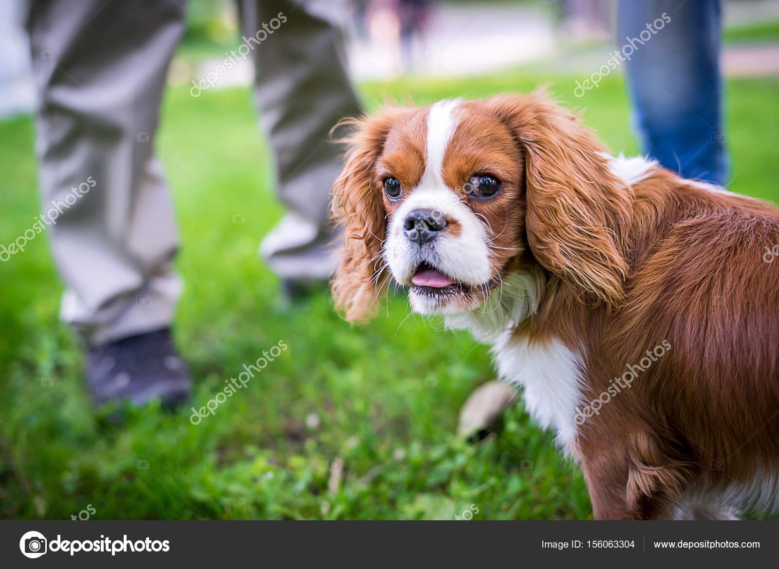 Un hermoso perrito reproduce una situación de spaniel en un prado ...