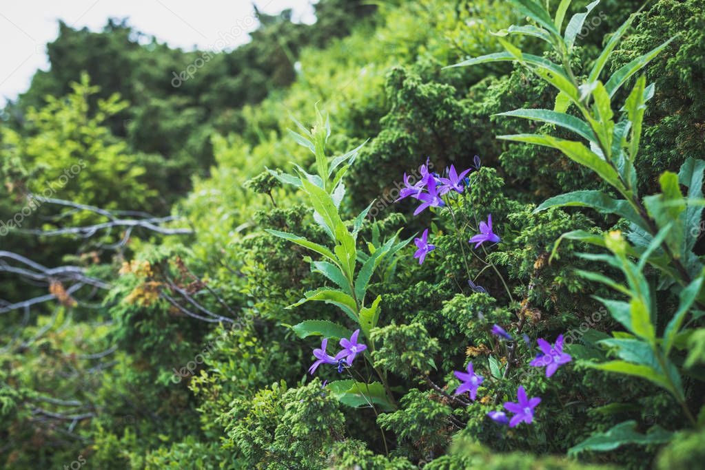 Violet flowers are bells in green wild bushes. Horizontal frame