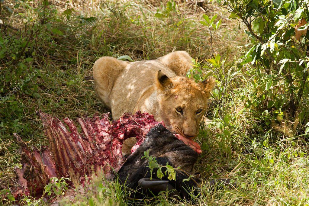 Lion eating a prey — Stock Photo © temis1964 #152654362 - photo#5