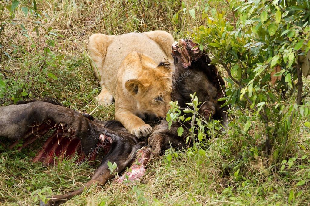 Lion eating a prey — Stock Photo © temis1964 #152654486 - photo#8