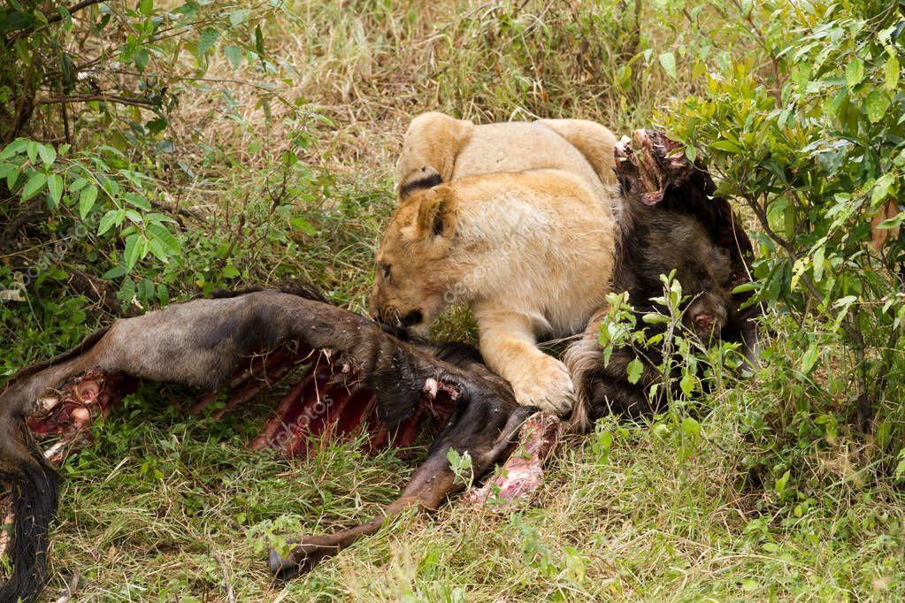 Leones comiendo su presa — Fotos de Stock © temis1964 ... - photo#39