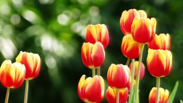 Tulipán mező: télen, illetve tavasszal nap szép tulipán virág