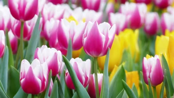 Krásné tulipány květina Tulipán pole v zimě nebo na jaře den