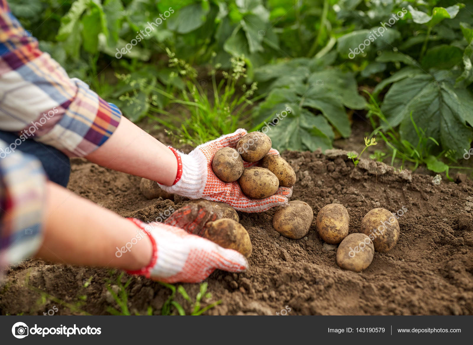 farmer with potatoes at farm garden — Stock Photo © Syda_Productions ...