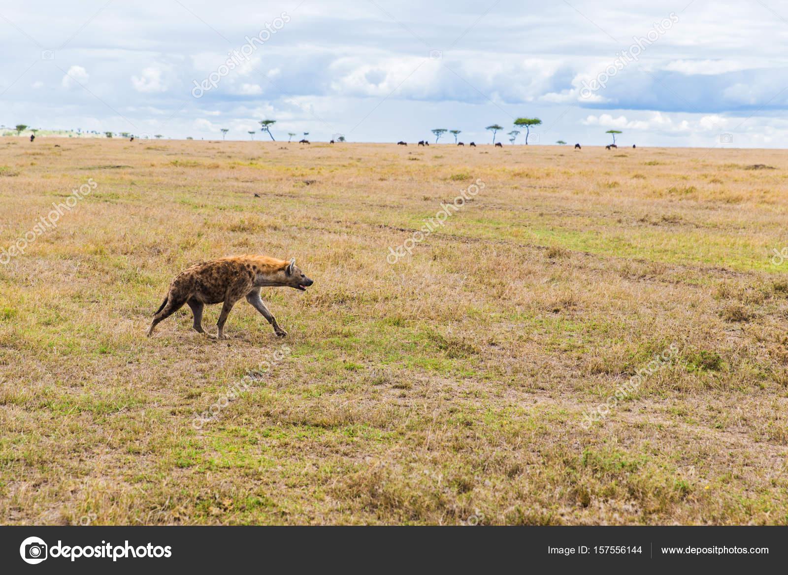 アフリカのサバンナのハイエナ狩...