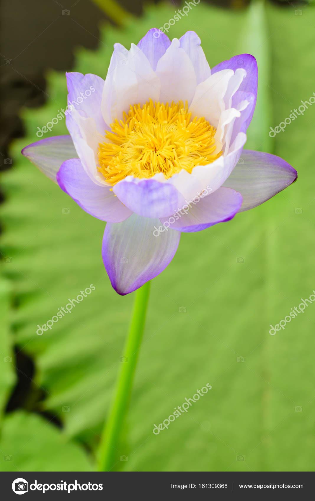 Nice blooming lotus flower stock photo pixbox77 161309368 nice blooming lotus flower stock photo izmirmasajfo
