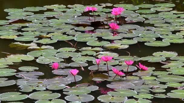 Rózsaszín lótuszvirág medencében, Handheld lövés