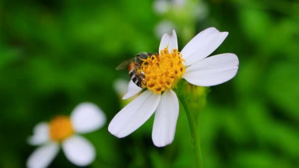 Bienenpollen suchen süßen Saft