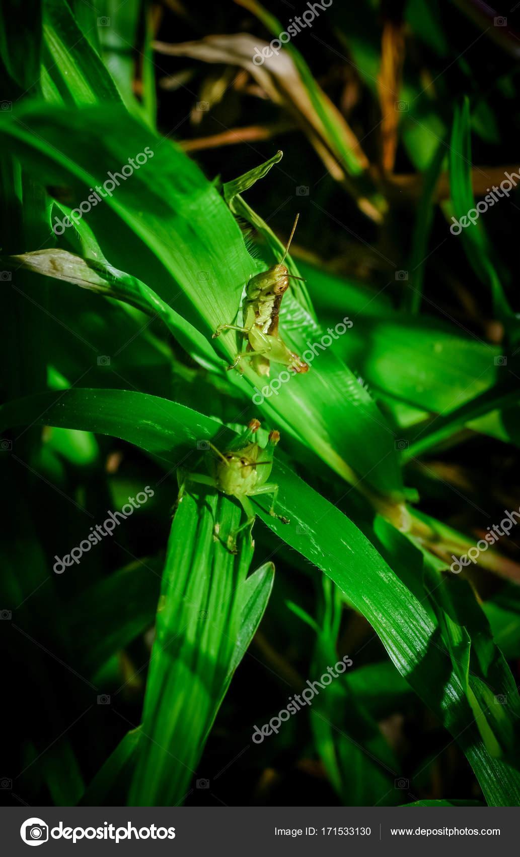 saltamontes en rama — Foto de stock © pixbox77 #171533130